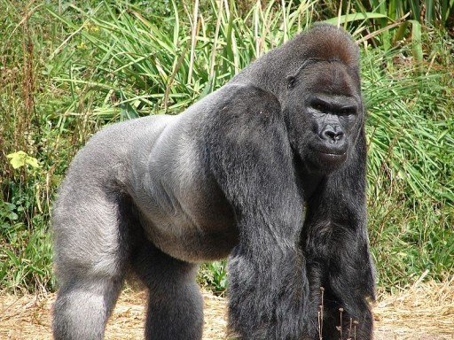 Pipeline Politics Jock,_the_Gorilla